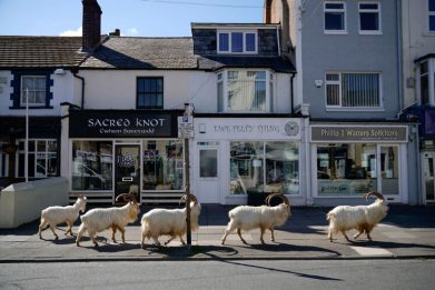 Coronavirus, in Galles capre lungo le strade deserte. FOTO