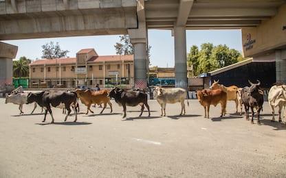 Coronavirus in India: gli animali occupano le città. FOTO
