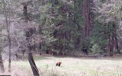 Lockdown Usa, quadruplicati gli orsi neri al parco Yosemite. VIDEO
