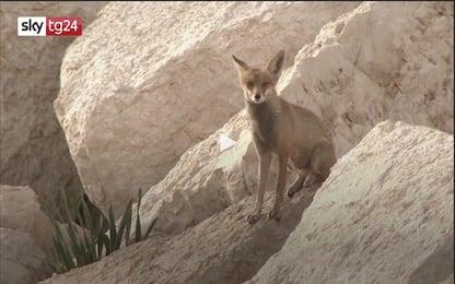 Coronavirus Israele, ad Ashkelon le volpi girano per le strade. VIDEO