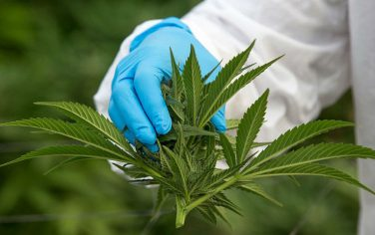 GettyImages_Marijuana