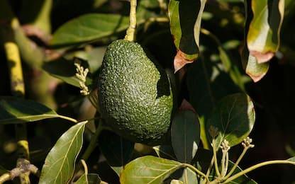 Oggi è l'Avocado Day, ecco come piantarlo direttamente in casa