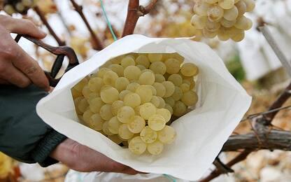 Sgominata banda di razziatori d'uva, sei arresti nel Catanese