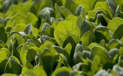 Usa, tessuti cardiaci rigenerati sulle foglie degli spinaci