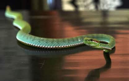 Brandizzo, recuperato serpente nel cortile del palazzetto dello sport