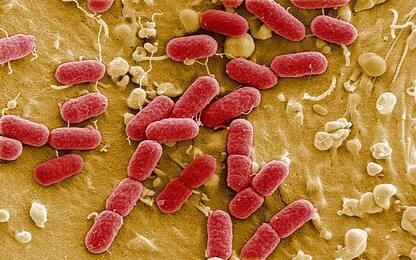 Infarto, studio italiano scopre la complicità di un batterio intestinale