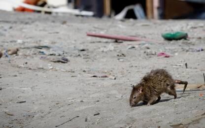 Non solo prede, test sui topi risveglia l'istinto predatorio