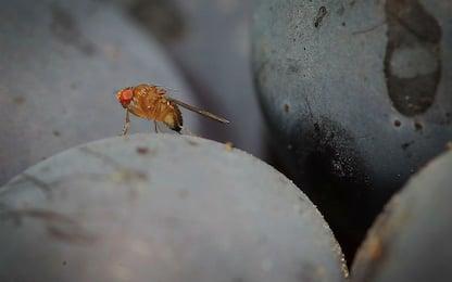 Scoperto il meccanismo genetico che decide il sesso della mosca