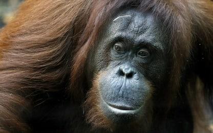 Tinder per oranghi, il primo esperimento in uno zoo olandese