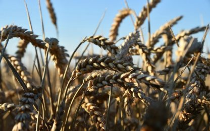 Falci di 23mila anni fa potrebbero cambiare la storia dell'agricoltura