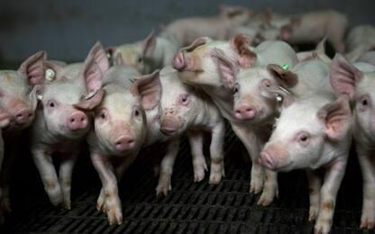In Scozia creati super-maialini immuni ai virus