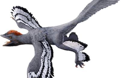 Ricostruito l'aspetto del dinosauro piumato: aveva le ali e non volava