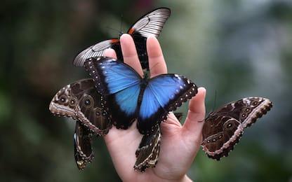 """I colori delle ali di farfalla frutto del lavoro di un gene """"pittore"""""""