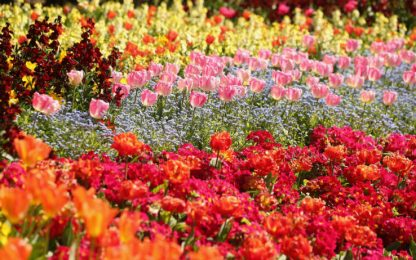 """I fiori """"comunicano"""" attraverso gli odori per attrarre gli insetti"""