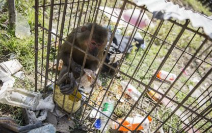 Nuove armi contro l'Aids dalle scimmie che convivono col virus