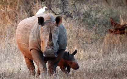 Sudafrica, nel 2017 uccisi illegalmente 1028 rinoceronti
