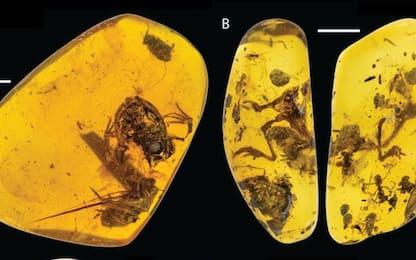 Scoperta nell'ambra la più antica rana della foresta pluviale