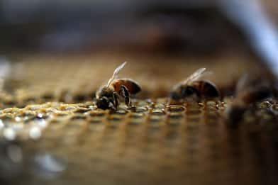 Caserta, incendio doloso distrugge allevamento con 700mila api
