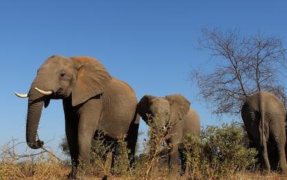 Elefanti: addio zanne, il bracconaggio forza l'evoluzione