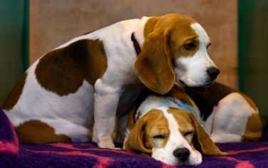 beagle_getty_images