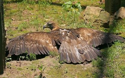 Aquila reale, mappare il genoma può aiutare la conservazione