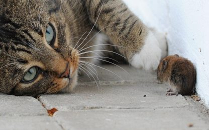 Secondo uno studio, gatti e topi non sono acerrimi nemici