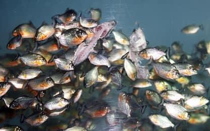 Scoperto il fossile di un pesce preistorico simile al piranha