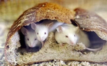 Il topo di Alston: canta e conversa con amici in modo simile all'uomo