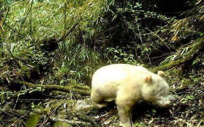 Cina, il raro panda albino immortalato per la prima volta