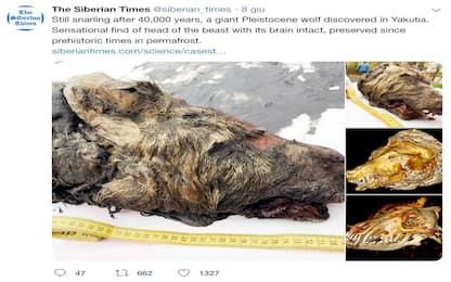Siberia, ritrovata testa di un lupo gigante vissuto 40mila anni fa