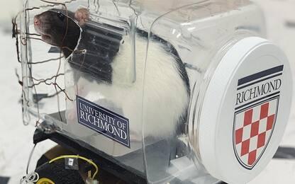 Come si rilassano i topi? Guidando una mini auto elettrica. VIDEO