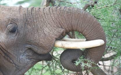 La proboscide degli elefanti studiata per ispirare nuovi robot
