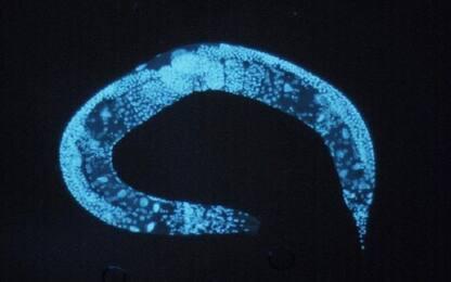 Scoperto in un verme il segreto della longevità