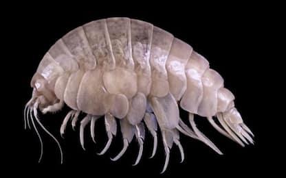 Scoperta una nuova specie animale già contaminata dalla plastica