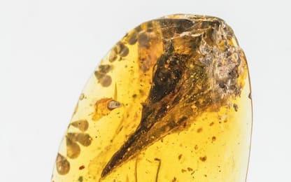 Scoperti i resti di un dinosauro piccolo come un colibrì