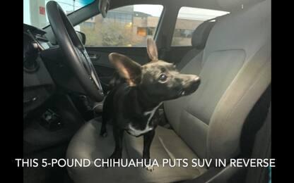 Louisiana, chihuahua su un SUV attraversa autostrada. VIDEO